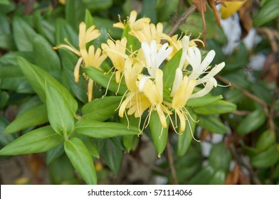 Lonicera japonica Thunb or Japanese honeysuckle yellow and white flower in garden.