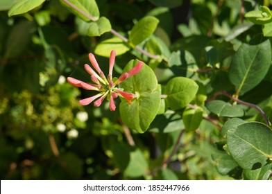 Lonicera sempervivens blanche sandman or trumpet honeysuckle plant