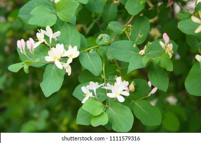 Lonicera tatarica honeysuckle green shrub with pink flowers