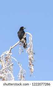 Lonley crow (Corvus frugilegus) at winter time.