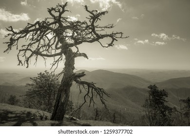 Lonley dead tree along side the Blue Ridge Parkway. sepia tone version.