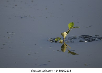 Lonley leaves in a pond in Kovalam
