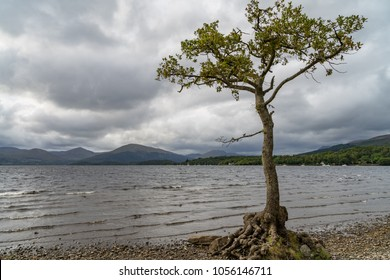A lonley tree in the middle of the calm waters of milarrochy bay loch lomond scotland