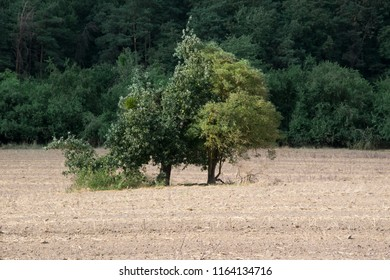 lonley tree on dry field