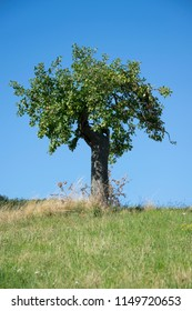 lonley tree on a meadow