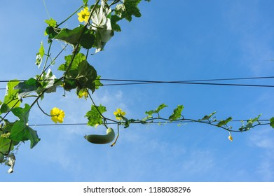 loofah plant, loofah flower or gourd plant or okra plant with blue sky background