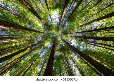 Look up at the beautiful redwoods