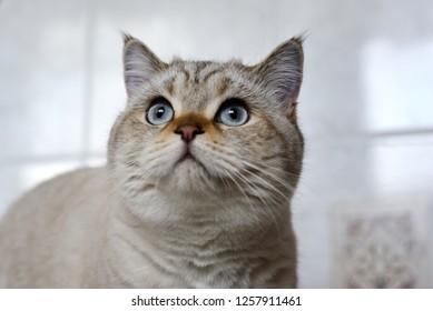 Look of british tomcat