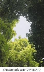 Look up to the camphor trees under sky, lush old trees and new leaves