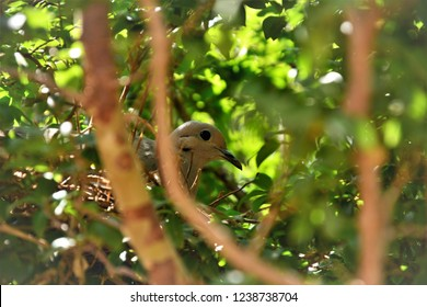 Look of a dove rolling its eggs nest in the jaboticaba tree