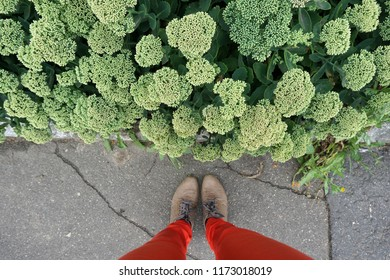 Look down at the woman's legs on red pants and brown shoes and green sedum plant.