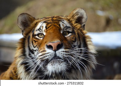 Look in the eyes of tiger - young adult Bengal tiger male full face portrait with rocks and snow behind