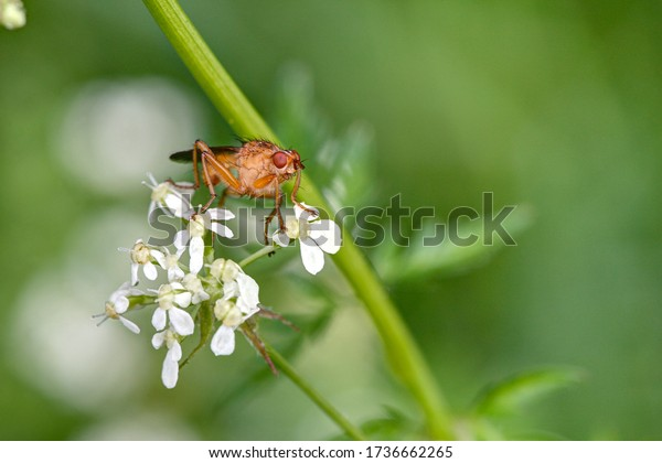 Look into my eyes. A horn fly, Sciomyzidae, sits on the white flowers of a meadowchervil.