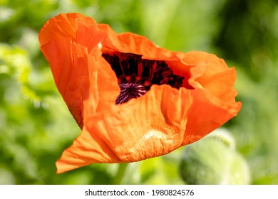 Look into the poppy blossom, it will now open