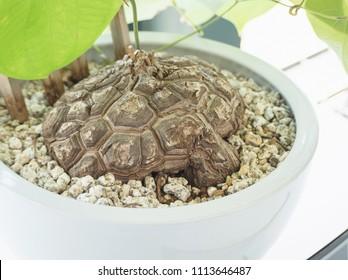 look like tortoise shell elephant foot plant (or hottentot bread)  dioscorea elephantipes in white pot