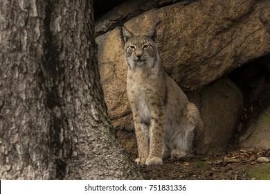 Look of  Lynx