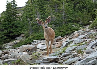 Look at me - deer in mountains
