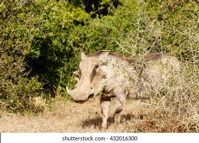Look at me Ma - Phacochoerus africanus - The common warthog is a wild member of the pig family found in grassland, savanna, and woodland in sub-Saharan Africa.