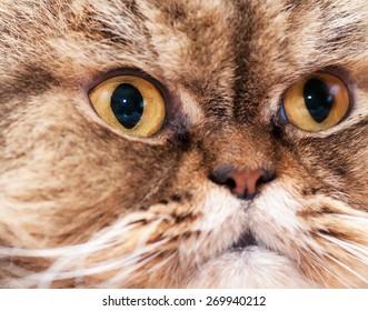 Look of the Persian cat
