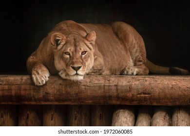 The look of a predator. Confidence, strength, rage, success, luxury. Lion in dark