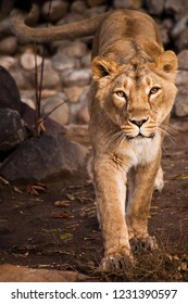The look of a predator is a lioness with clear eyes. the lioness comes to you, comes- attentive, evaluating glance