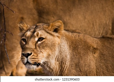 The look of a predator is a lioness with clear eyes. head of a lioness on the background of lion wool.