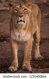 The look of a predator is a lioness with clear eyes. Attentive, the lioness stands and looks at you - attentive, evaluating glance