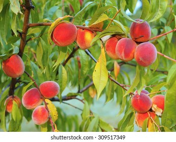 Look at ripe peaches hanging from a tree
