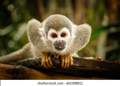 Look at Squirrel monkey in ecuadorian jungle in amazon