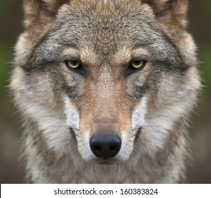 A look straight into your soul of a severe wolf female. Menacing expression of the young, two year old, european wolf, very beautiful animal and extremely dangerous beast.