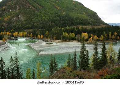 A look through the pine trees at the confluence of two turbulent mountain rivers of turquoise color. Confluence of Katun and Argut, Altai, Siberia, Russia.