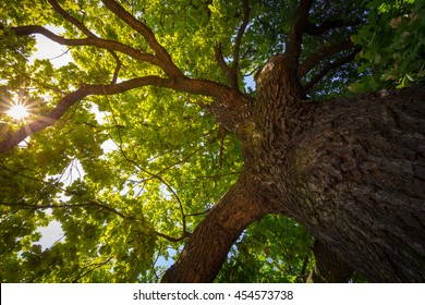 Look up under the old huge tree. Sunlight through the oak tree branches.