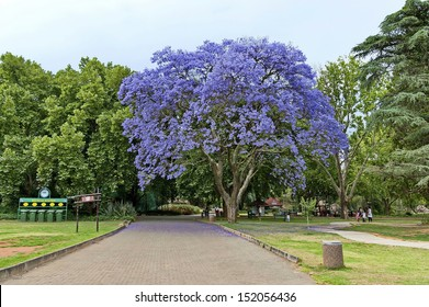 Look of walk of Johannesburg zoo with jacaranda blossom tree, South Africa