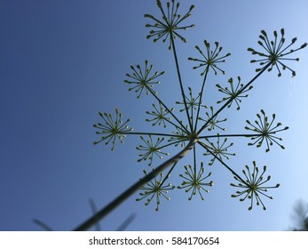 Look up yellow parsley flower with blue sky in freshness day, star flora blossom in farm.