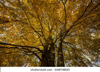 look up to yellow treetop at huge tree in autumn