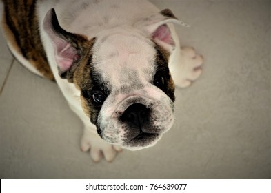 Look of the young English Bulldog sitting on the floor waiting for affection