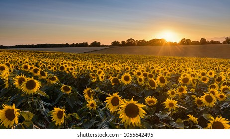 Looking across a field of sunflowers at sunset.