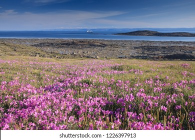 Looking across a patch of Dwarf Fireweed, towards the water, on the edge of town of Iqaluit, Nunavut, Canada.