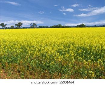 Looking across the yellow fields, Victoria, Australia