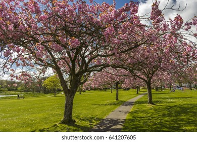 Looking along a footpath through an avenue of blossoming Cherry Trees in Lochside Park, Castle Douglas, Dumfries and Galloway, Scotland.