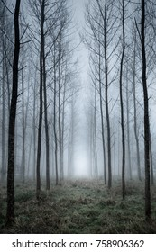 Looking along the lines of a tall straight tree plantation in dense fog