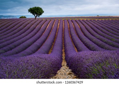 Looking along the rows in a Lavender field Valensole Plateau Forcalquier Alpes-de-Haute-Provence Provence-Alpes-Cote d'Azur France