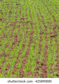 Looking along the rows of a young corn crop with shallow depth of field