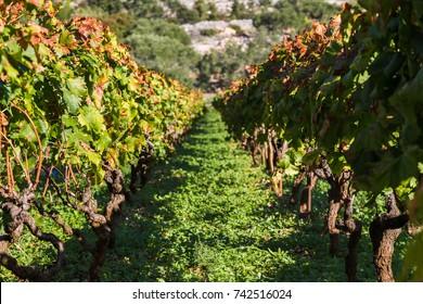Looking along the vineyards of Posip grapes being grown in Cara, Korcula Island.