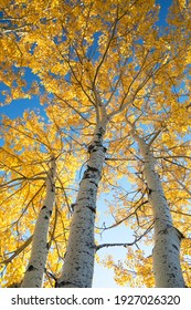 Looking up at aspen trees durning the autumn season when the leaves change colour from green t bright vibrant orange and yellow as the season comes to an end on a beautiful sunny blue sky day.
