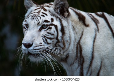 Looking away: The white tiger or bleached tiger, a pigmentation variant of the Bengal tiger.