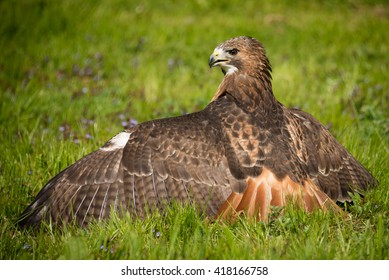 looking from the back, a red tailed hawk on the ground with wings spread out facing to the left and showing feather detail