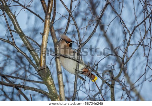Looking Back Waxwing Saint Petersburg Russia Bird Sitting in Birch Tree