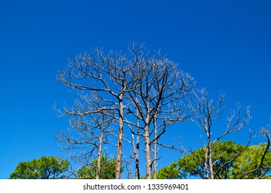 Looking up at bare pine trees with green leaf covered trees in the distance with deep shadows and clear blue sky.