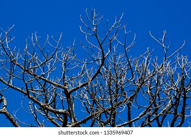 Looking up at bare pine trees that appear to be dead with deep shadows and clear blue sky.